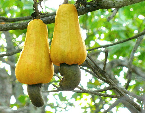 Cashew apples hanging from a cashew tree