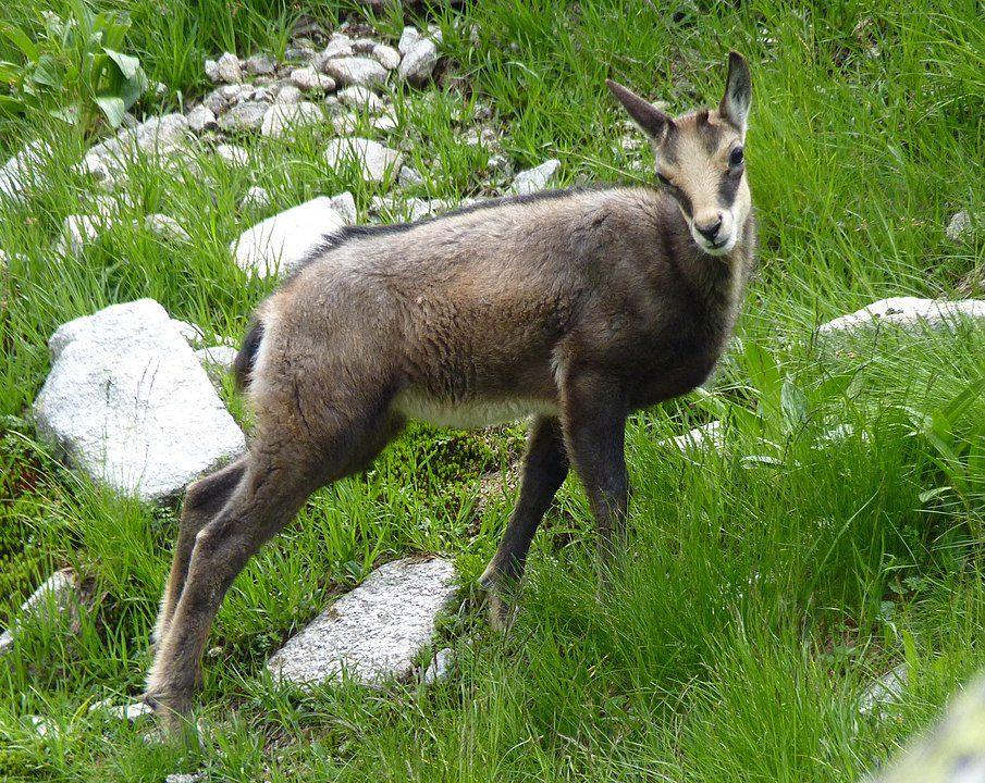 Tatra chamois