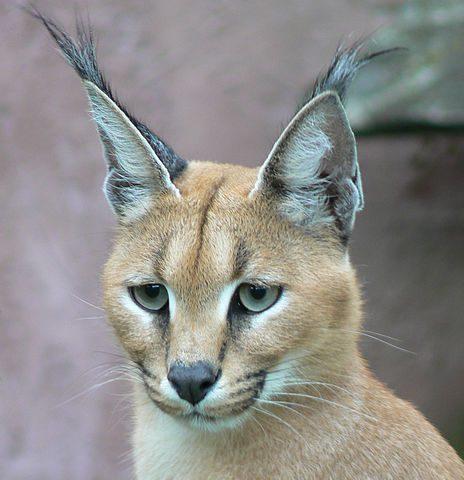 Caracal (or desert lynx)