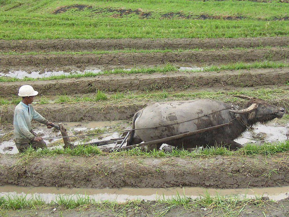Many farmers in Indonesia still use traditional methods for tilling the land like water buffalo or oxen.