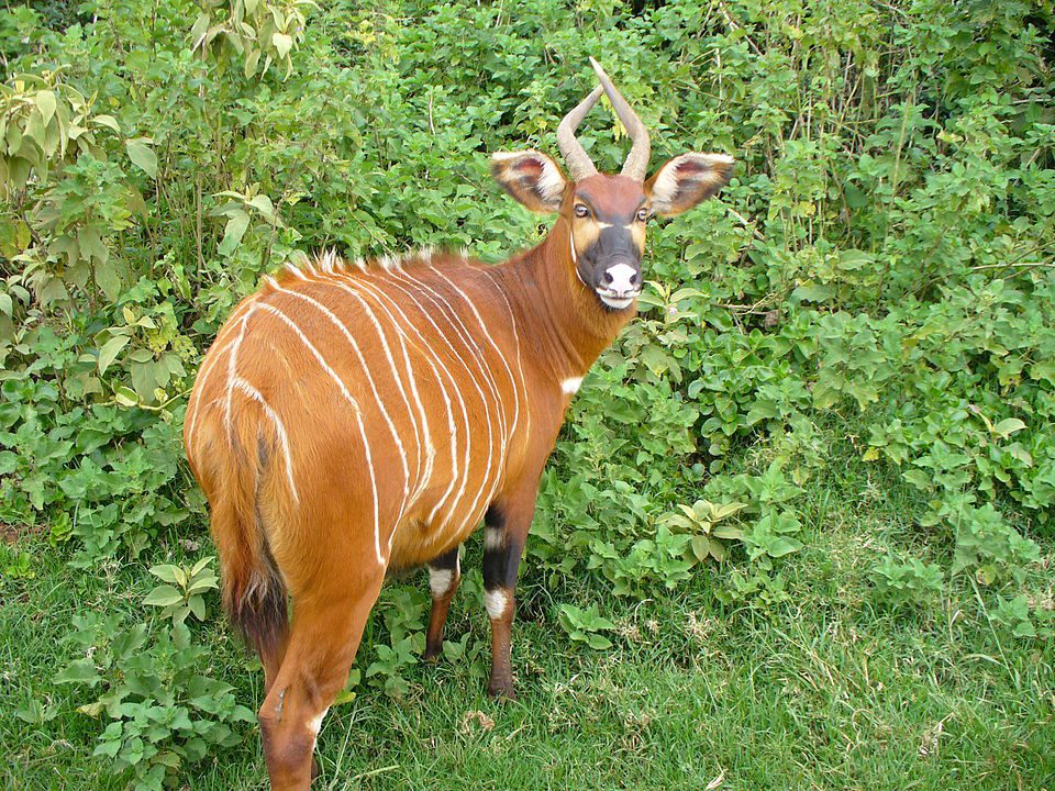 A mountain bongo on Mt. Kenya
