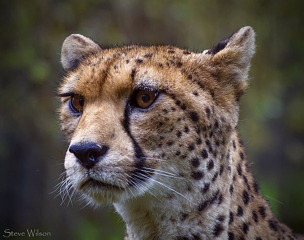 The Northwest African Cheetah is classified as critically endangered. These cheetahs can subsist without direct access to water, obtaining water indirectly from the blood of their prey.
