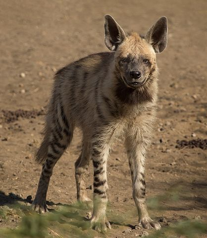The striped hyena is easily tamed and can be fully trained, particularly when young.