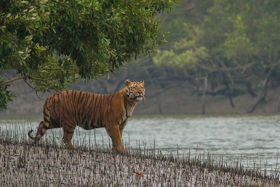 Bengal tiger in the Sundarban
