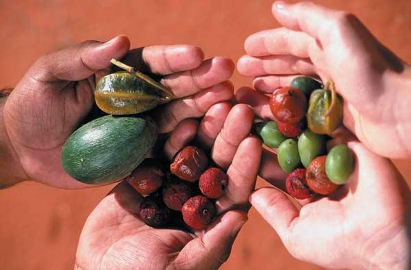 Bush tucker (bush foods) harvested at Alice Springs Desert Park