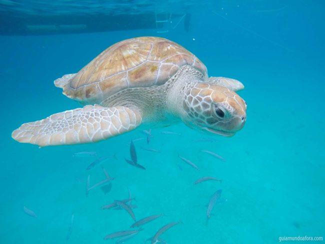 Tartarugas em Barbados no Caribe