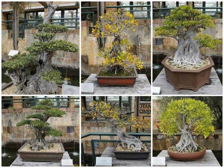 bonsai no Jardim botânico de Cape Town