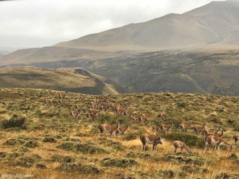 guianacos em Torres del Paine
