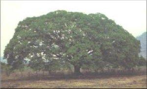 Árbol de Guanacaste - Arbol Nacional
