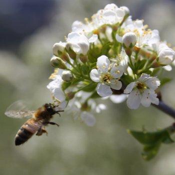 ape su fiore di marasca ciliegio canino prunus mahaleb carso trieste