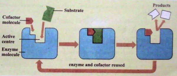 enzymes and cofactor reused