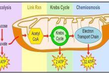 cellular respiration 4 steps