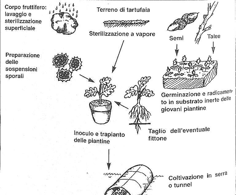 tartufi-coltivazione