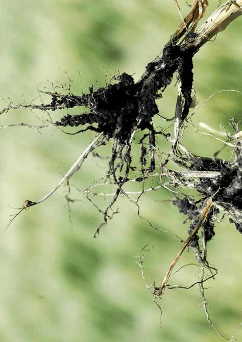 Leaf Spot Septoria Control