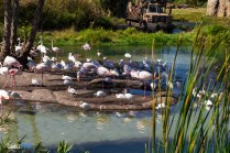Flamingos - Kilimanjaro Safaris - Animal Kingdom Attraction