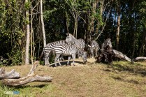 Zebras - Kilimanjaro Safaris - Animal Kingdom Attraction