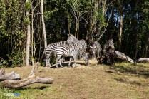 Zebras - Kilimanjaro Safaris - Animal Kingdom Attraction