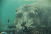 Hippo Underwater - Pangani Forest Exploration Trail - Animal Kingdom Attraction