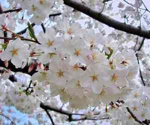 Somei Yoshino sakura