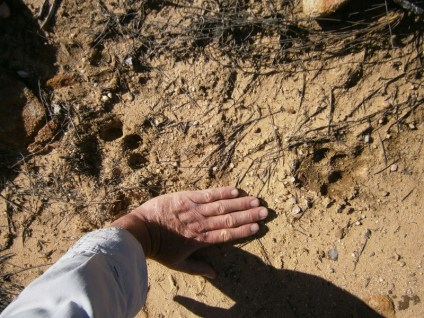 Leopard spoor on the Leopard Trap Day Hike