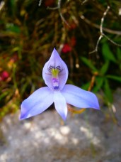 Drip disa on Table Mountain