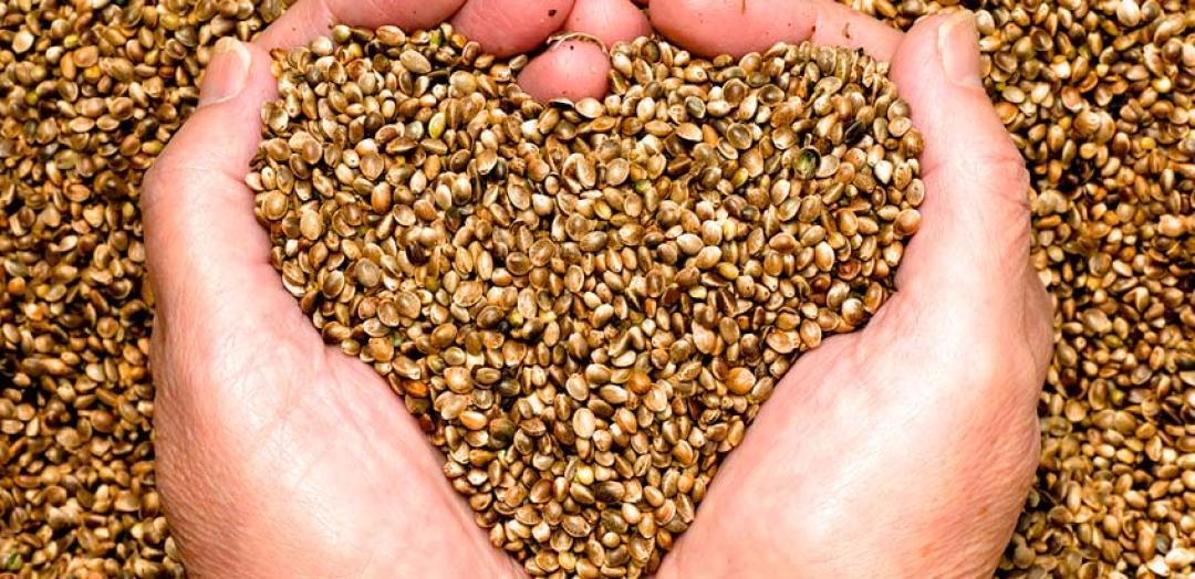 cáñamo-semilla-nutrición-hecho-2