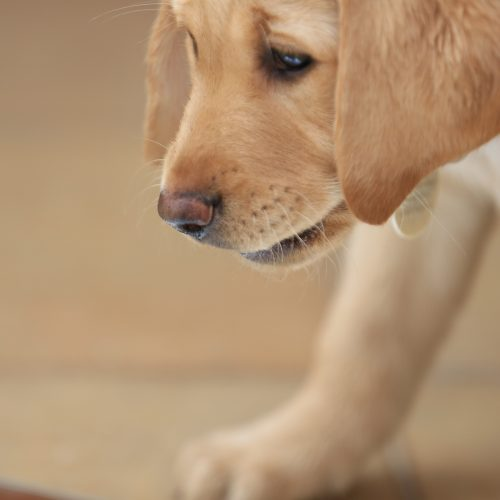 South African Guide-Dogs Association For The Blind Labrador Guide Dog Puppy