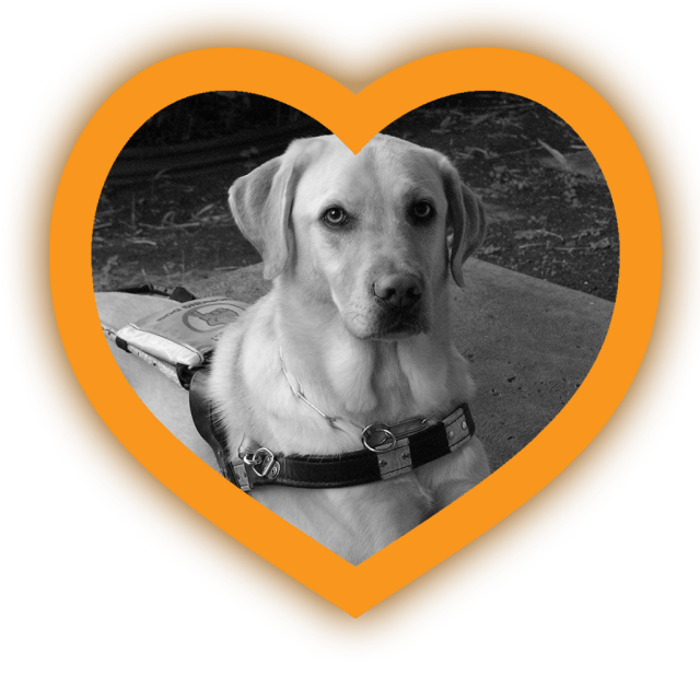 Yellow heard border surrounds a black and white photo of a yellow labrador guide dog in harness. He's laying down with this paws forward, and his attention is toward the camera.