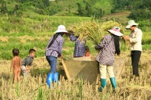Culture du riz inondee au Vietnam