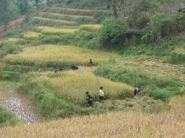 Récolte de riziere en terrasse