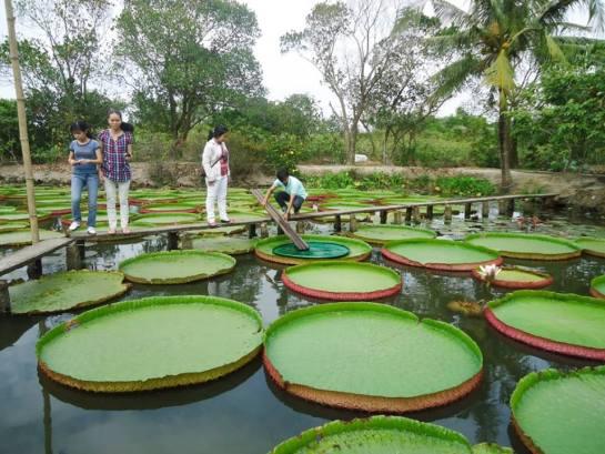 feuilles lotus geant1.jpg