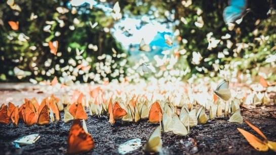 saison de papillon 1