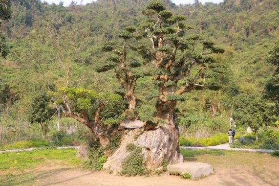 arbre de 1000 ans