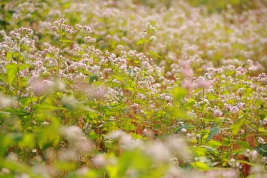 fleur de sarrassin