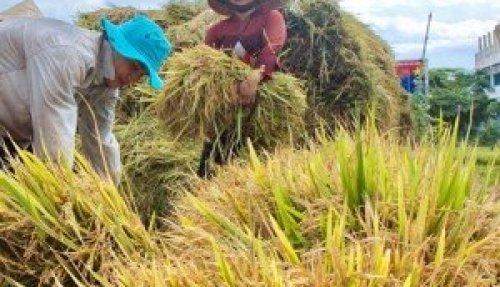 Moisson du riz