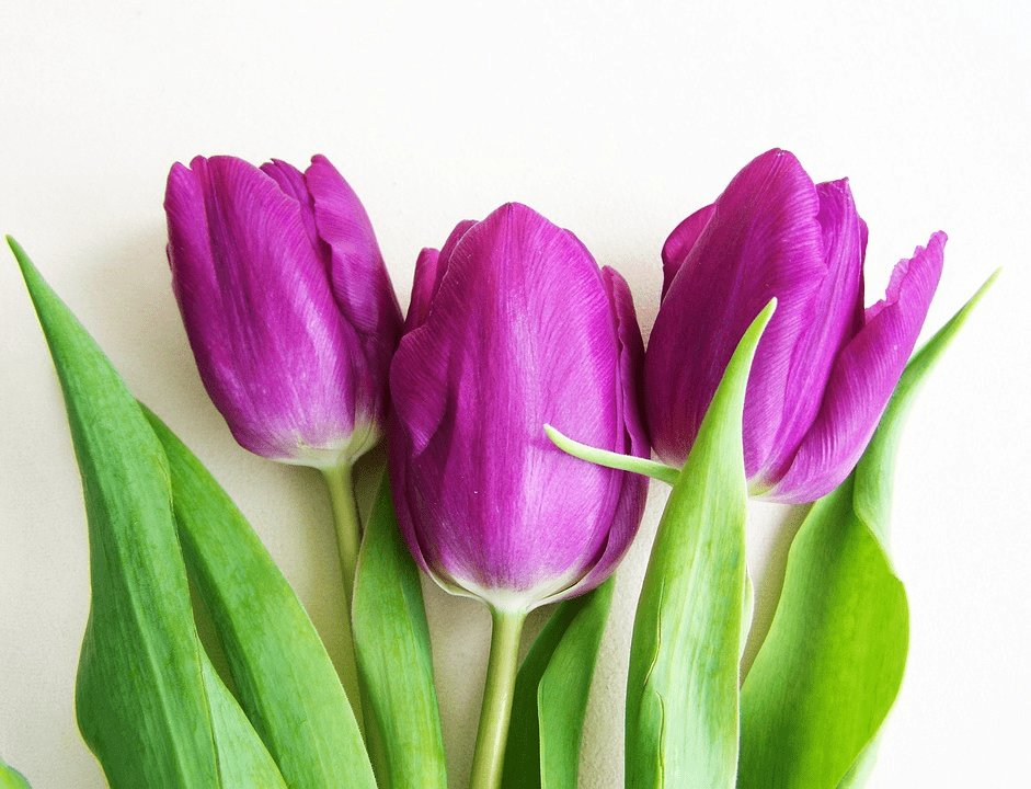 valentines-purple-tulips
