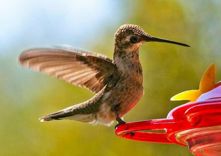 Humming Bird - Californias Birds Fests