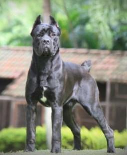 cane-corso-italiano-brasilia-df-coberturacruza-D_NQ_NP_14112-MLB2910586974_072012-F