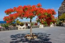 El bello flamboyán, procedente de Madagascar • autor desconocido.