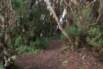 Laurisilva - árboles de brezo.
