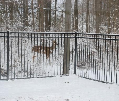 Look what was outside Nana's window!  Bambi!
