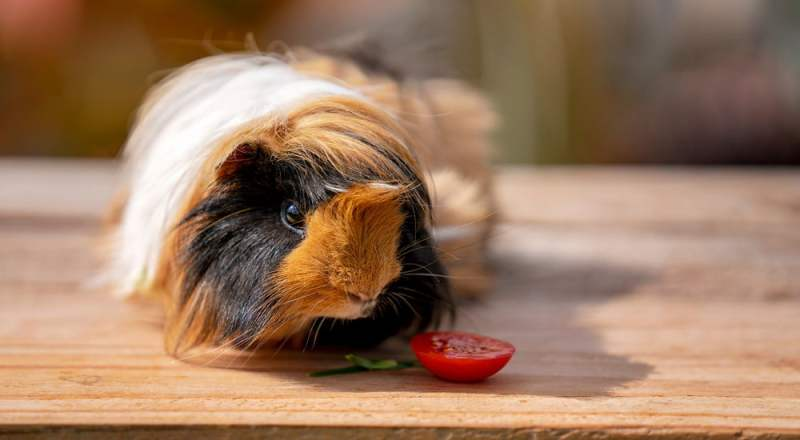 Can Guinea Pig Eat Tomato And Benefit From Them?