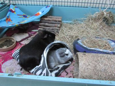 Percy and Bertie love zebras