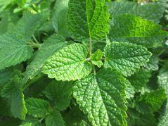 La Melisa, una planta medicinal