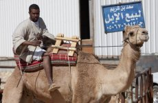Saudi Arabia Warns Of MERS Virus Risk From Camels
