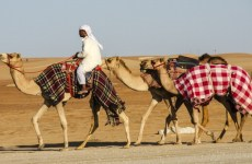 UAE To Increase Screening Of GCC Camel Shipments Over MERS Fears