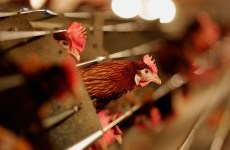 Saudi bans import of poultry from Belgium on bird flu fears