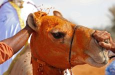 Saudi fines five for animal abuse, injecting camels with botox