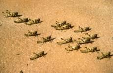 Locust outbreak expected to worsen in Saudi, poses 'serious threat'