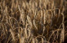 Saudi Arabia Tenders To Buy 660,000 Tonnes Of Wheat